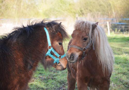 stage equitation avec poney shetland